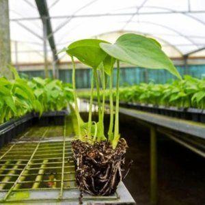 LIVE Monstera Deliciosa Starter Plant!